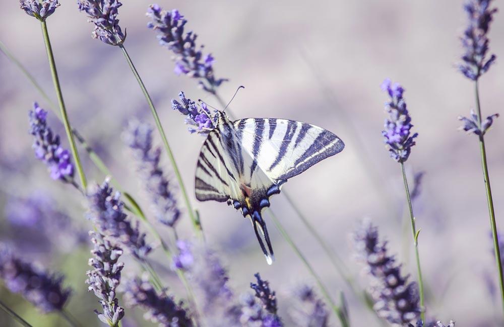 papillon butinant une lavande, office du tourisme provence